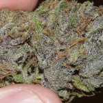 Purple OG Kush (click for larger)